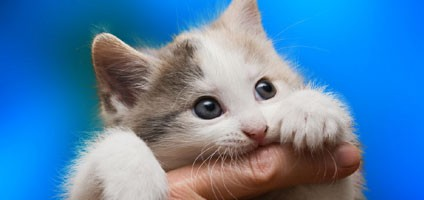 The Facts About Cat Scratch Fever Catster