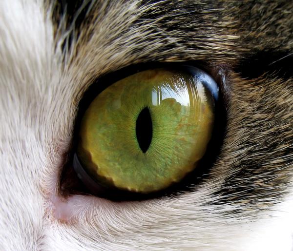 Cat Eye Anatomy Third Eyelid Cute Cat 2018