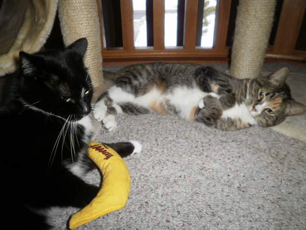 Catnip bananas are not on Stella's Christmas list. (Photo by Angie Bailey)