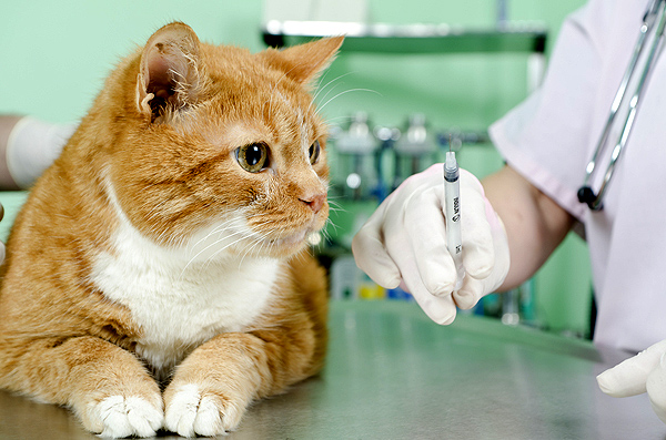 Ask A Vet How Often Do Cats Need Shots Catster