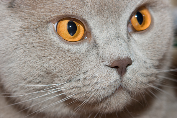 cheshire-cat-british.jpg