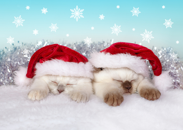 Image result for Christmas cats