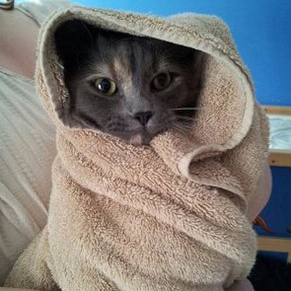 A cat wrapped up in a towel after a bath.