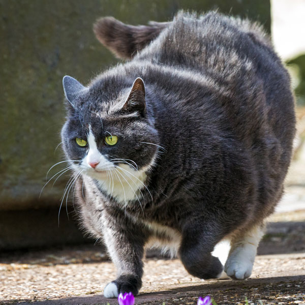 fat cat epidemic 5 signs that your cat is obese catster