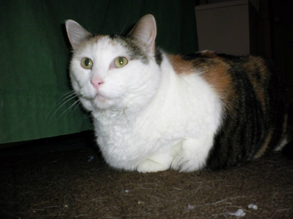 From Fat to Fabulous: One Cat's Weight Loss Journey