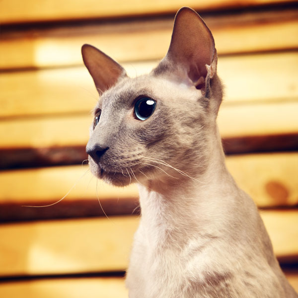 Hairless Cats: Facts About Special Cats With Special Needs
