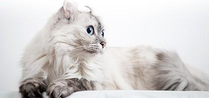 American Curl Cat Health Problems