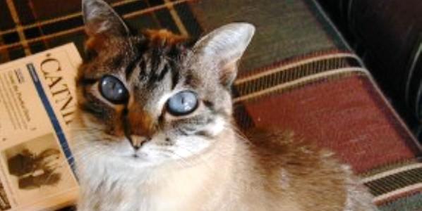 A blue-eyed brown cat.