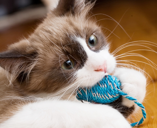 A kitten bites and chews on a toy.