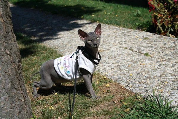 A Sphynx cat walks outside on a harness with a shirt on.