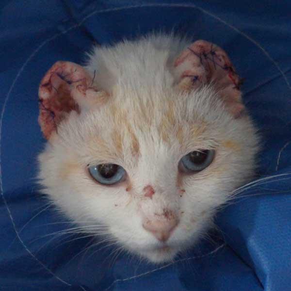 Facial cancer in cats pics 959