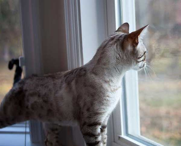 A Bengal cat looking out a window.