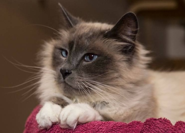Adopt A Maine Coon Cat In Maine