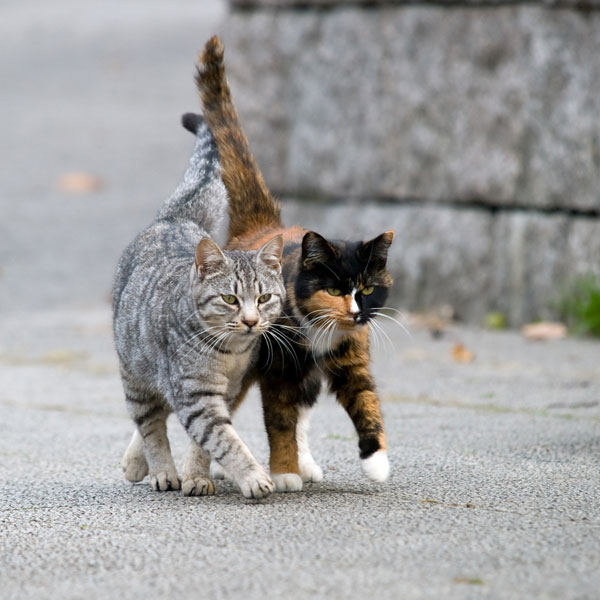 what is mange in cats is your cat at risk catster