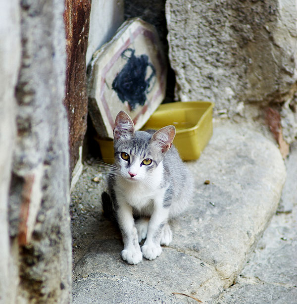 A gray and white cat outside.