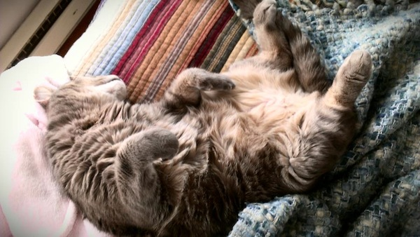 A brown cat sleeping with his belly up.