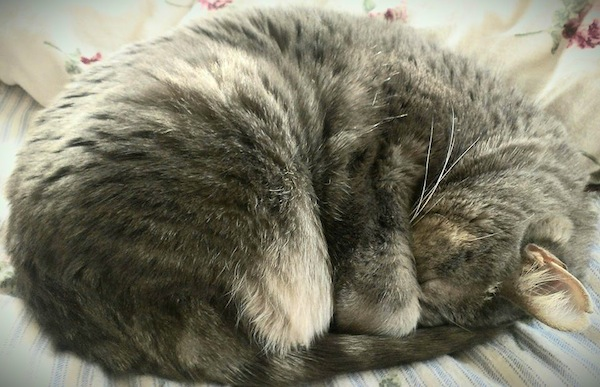 A brown cat sleeping all curled up.