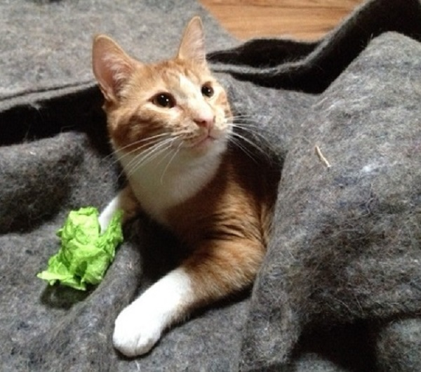 Norton, full grown, with a piece of wrapping paper that looks like lettuce.