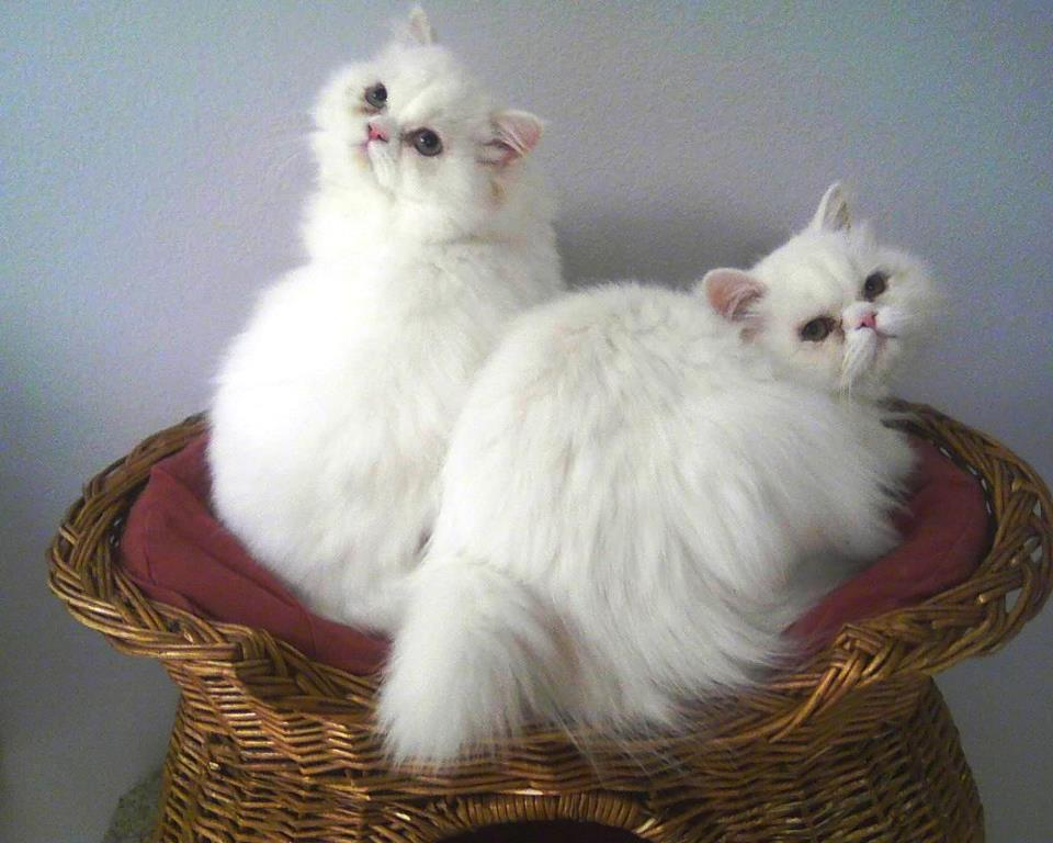 Seattle Persian And Himalayan Rescue Saves The Princesses