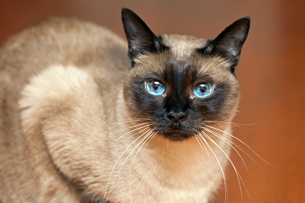 Did You Know Siamese Cats Eyes Explain Why The Sky Is Blue Catster