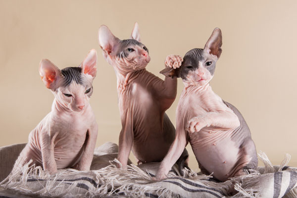 Sphynx kittens playing.