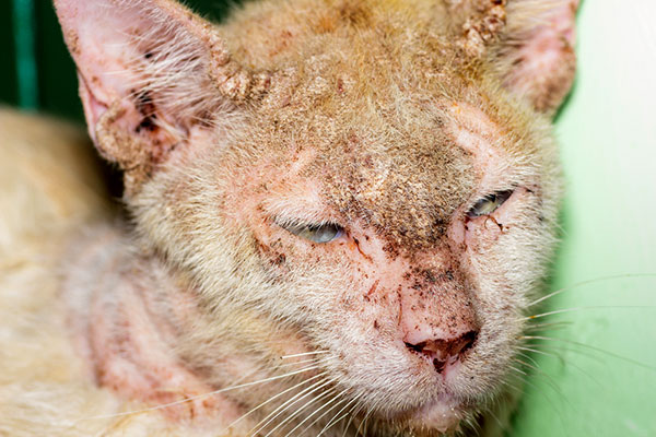 Cat with skin disease by Shutterstock