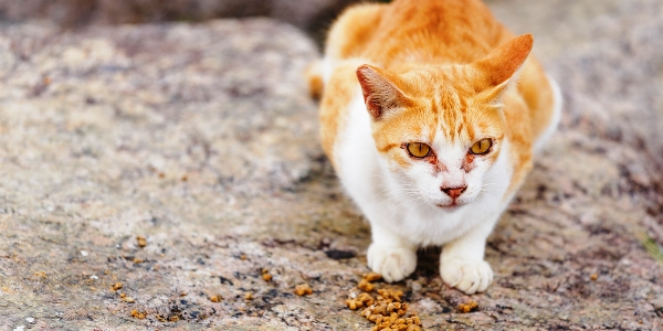 An orange and white stray or feral cat stands near cat food.