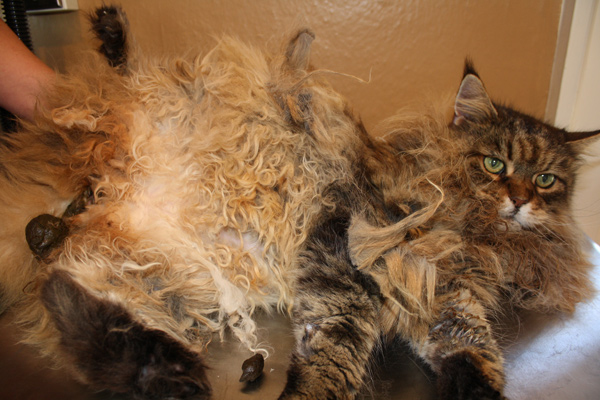 My Cat Has Matted Fur What Can I Do