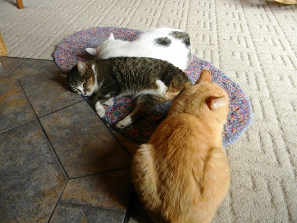 My Cats Go Crazy Over The World S Most Boring Rug Catster