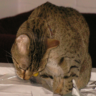 7 Reasons Cats Love To Lick Plastic