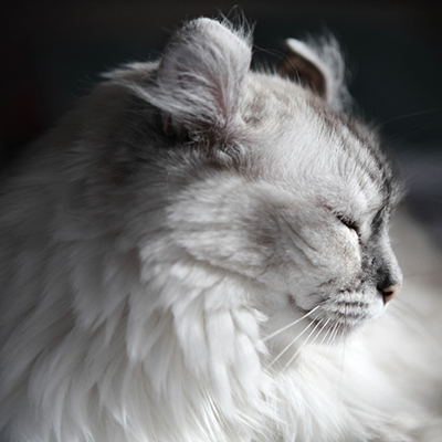 a2ac663a33 Get to Know the American Curl  The Peter Pan of Cats - Catster