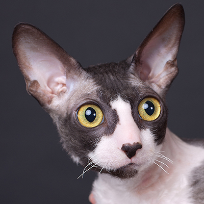 get to know the cornish rex a pack of personality in a