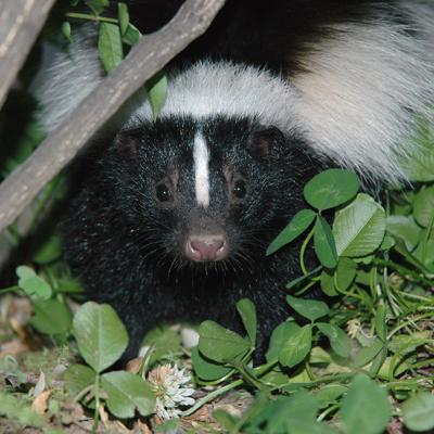 skunk repellent safe for cats