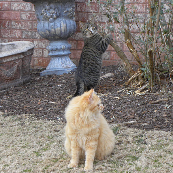Two cats playing outside.