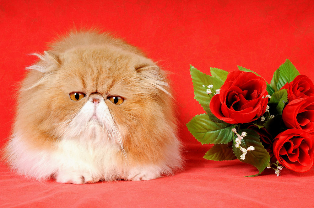 Catnip Toys For Valentine S Day : We make fun of valentine s day cats in stock photos catster