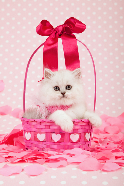Would You Ever Give Someone A Cat For Valentine S Day Catster