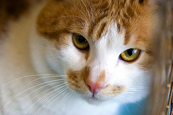 FIP Is a Dreaded and Poorly Understood Disease in Cats - Catster