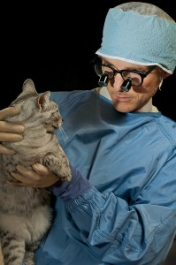 Vet examines Egyptian Mau cat by Shutterstock