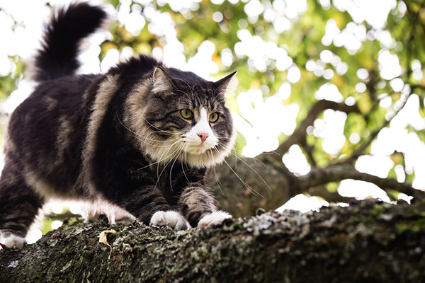 A Norwegian Forest Cat prowling in the branch of a tree.