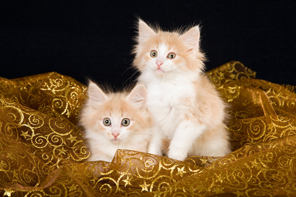 A pair of Norwegian Forest  Cat kittens sitting on a gold cloth.