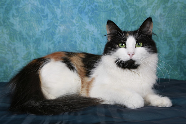 Calico Norwegian Forest Cat against a blue background