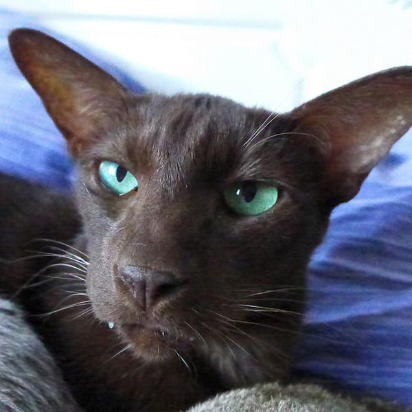 Havana Brown cat sitting on a blue pillow