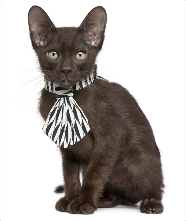 Havana Brown kitten wearing a tie