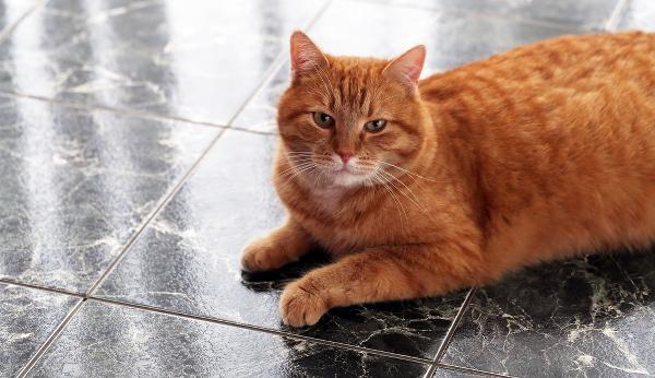 allergies-cat-on-tile-floor-188301230