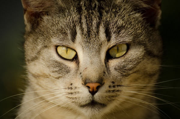 cat-eyes-shutterstock_259156328