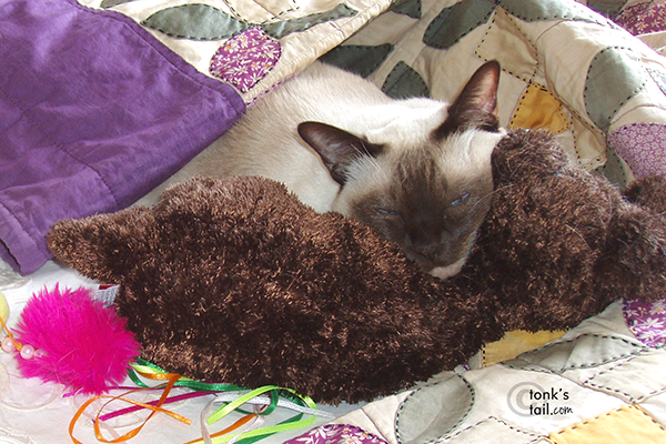 "Chocolate point Tonkinese, Ryker, of cat blog ""A Tonk's Tail"""