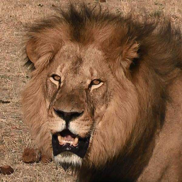 Closeup of Cecil courtesy Bryan Orford's Facebook page