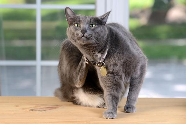 A gray cat scratching.