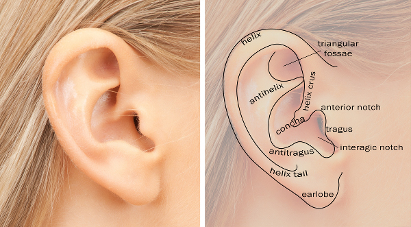 human-ear-diagram
