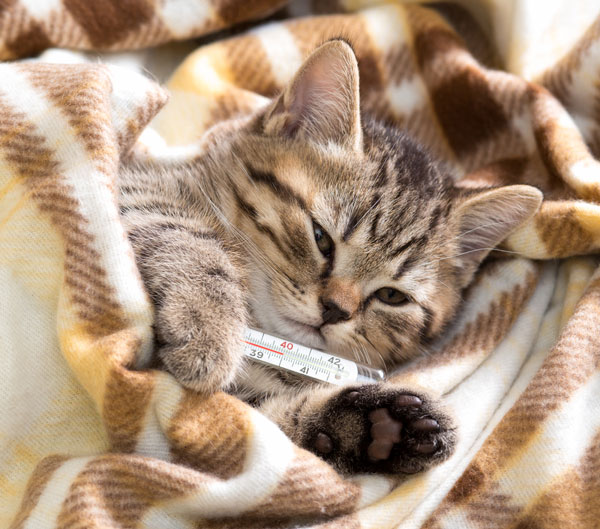 A cat's normal temperature is around 101 degrees Fahrenheit. Kitten with thermometer by Shutterstock